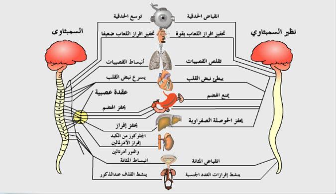 الجهاز العصبي الذاتي